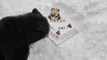 Baloo, ursul din Straja împlinește 15 ani